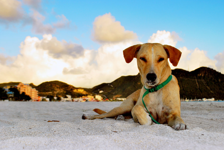 cute, beagle, dog, photo, sleepy, beach