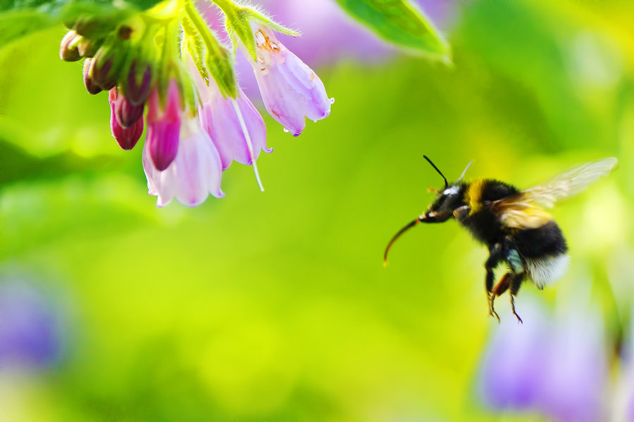 flying, bumblebee, flower, nice, view
