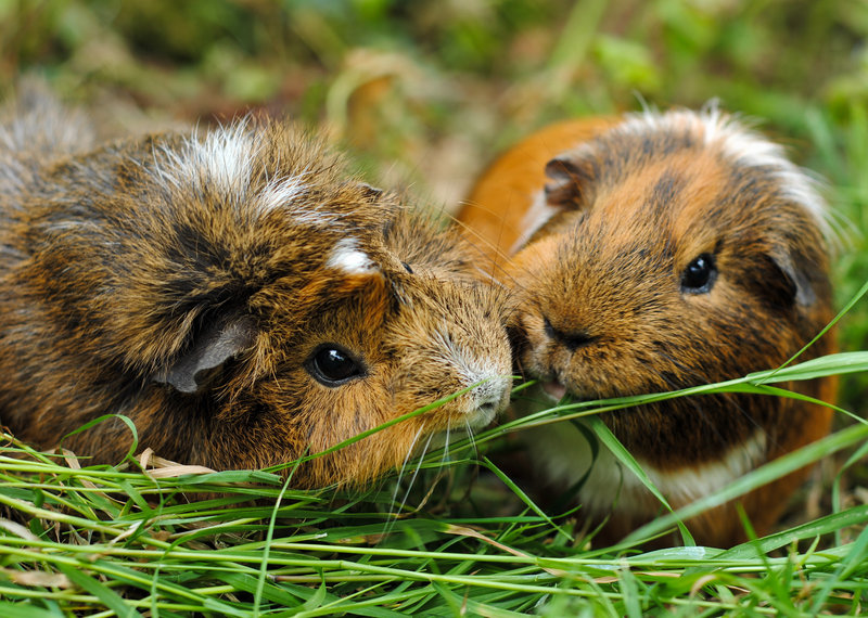 guinea pigs, animals, cute, green, grass