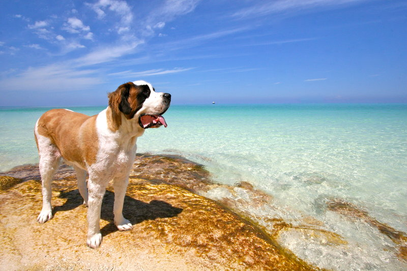 photo, cute, dog, seashore, paradise, bahamas