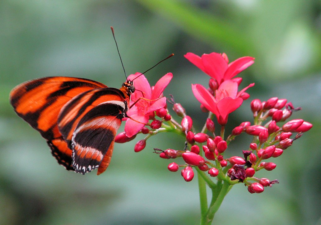 beautiful, butterfly, red, flower, close-up