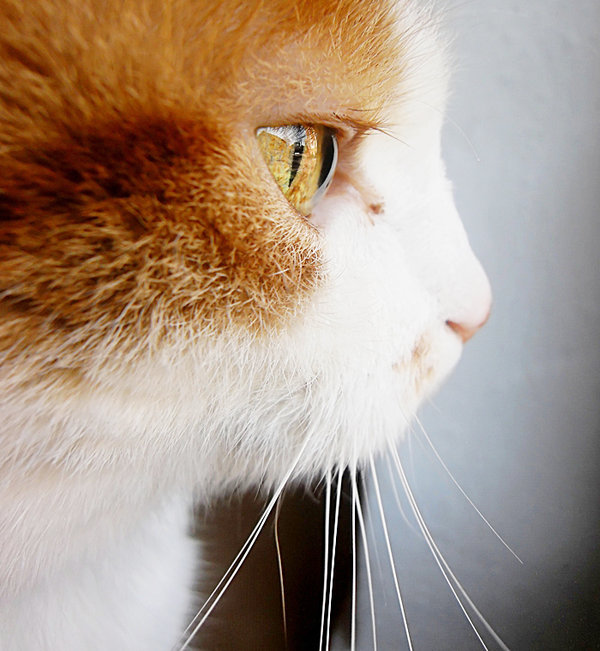 nice, cat, face, close-up, picture, animal