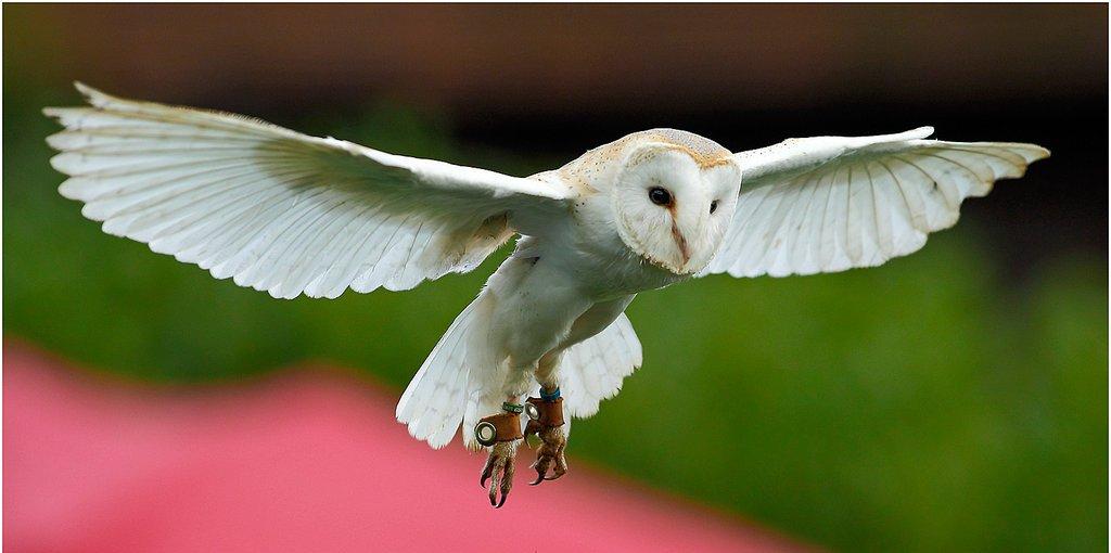 white, owl, nice, bird, predator, flying