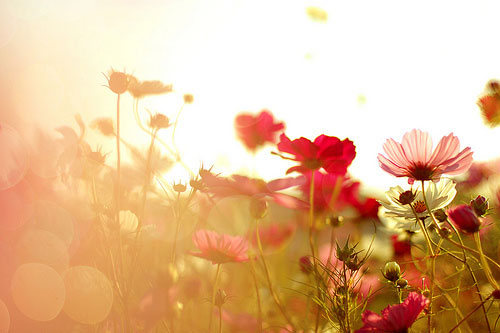 flowers, field, kosmeya, beauty, meadow