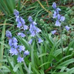 closer look, spanish bluebells, flowers