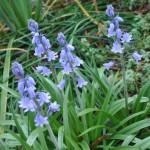 closer look, spanish bluebells, flowers