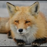 nature, wild, animal, red fox, eyes, look