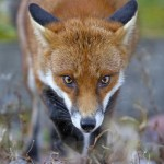 red fox, look, eyes, animal, wild, nature