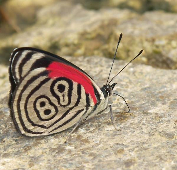 Fibonačijev niz Amazing-butterfly-diaethria-neglecta-number-89-on-the-wings-pictures