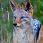 black-backed jackal, animal, eyes, look