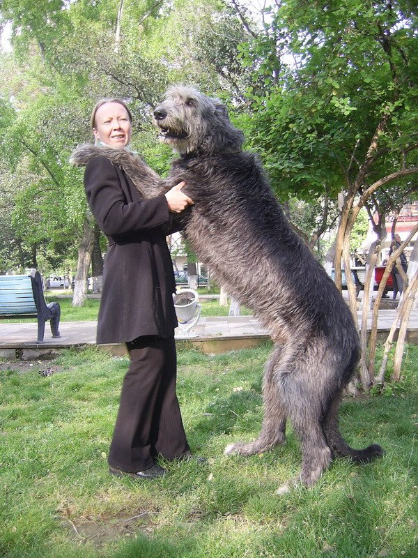 Wolfhound Dog Rescue