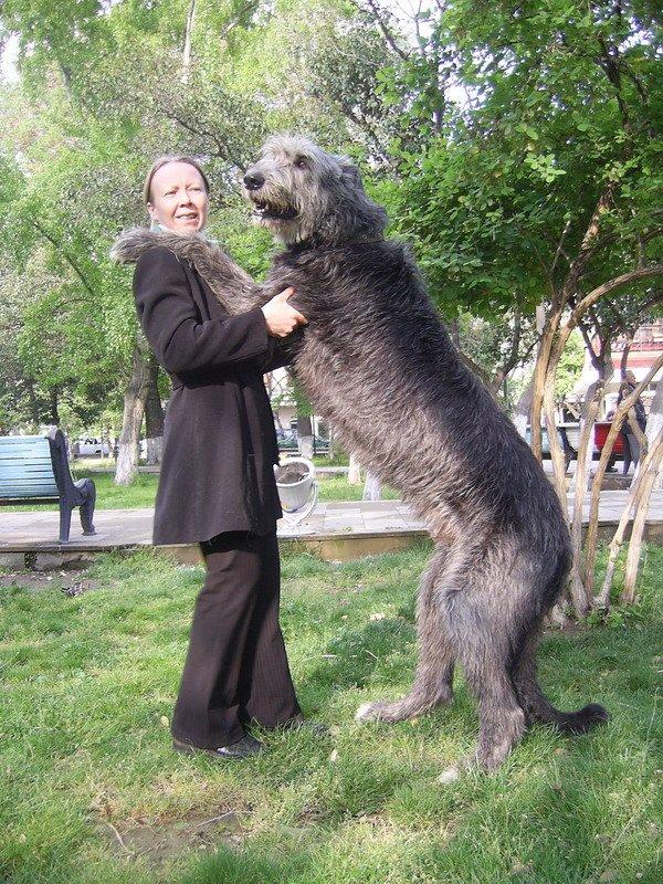 Dog Show Hounds