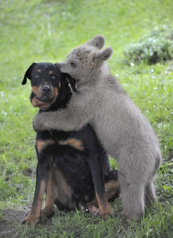 unusual animal friendship, bear, dog