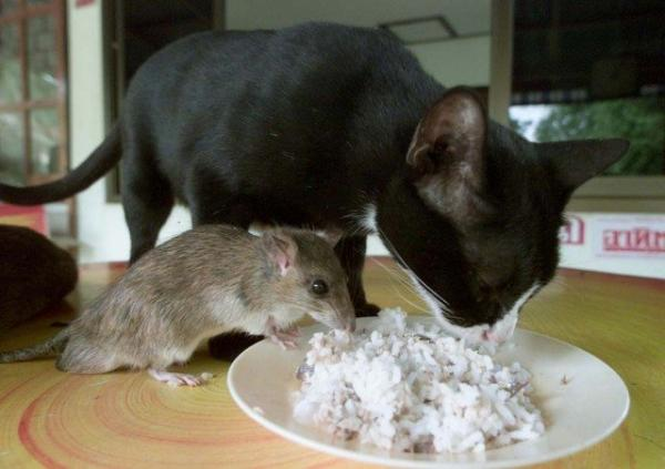 unusual animal friendship, cat and mouse