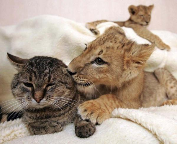 unusual animal friendship, cats