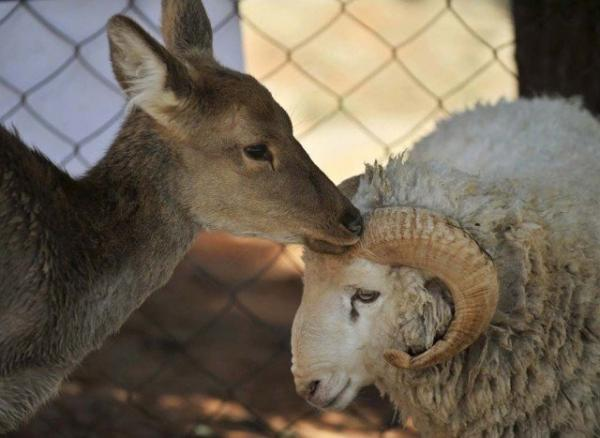 unusual animal friendship, deer, sheep