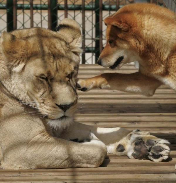 unusual animal friendship, dog, lion