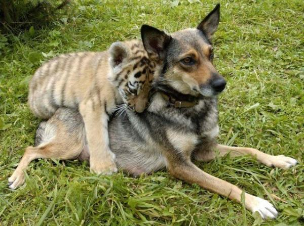 unusual animal friendship, dog, tiger, pics