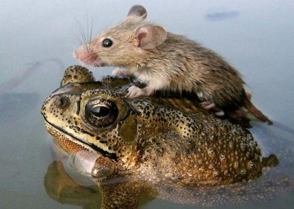 unusual animal friendship, frog, mouse