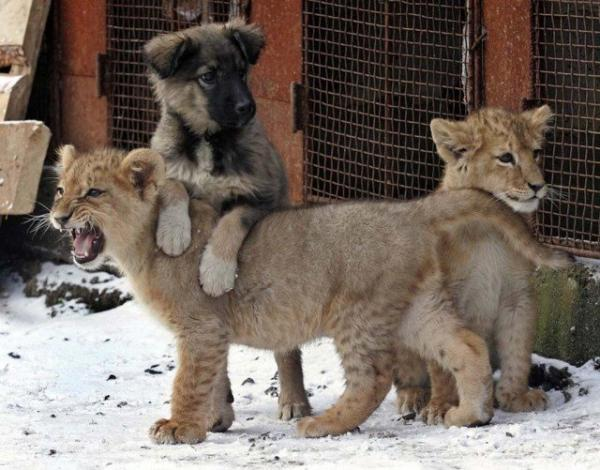 unusual animal friendship, lions, dog