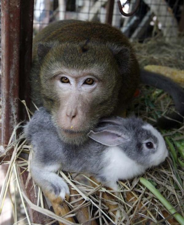 unusual animal friendship, monkey, rabbit