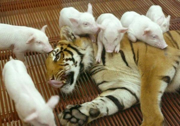 unusual animal friendship, tiger, pigs, pics