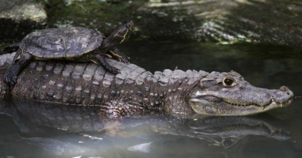 unusual animal friendship, turtle, crocodile