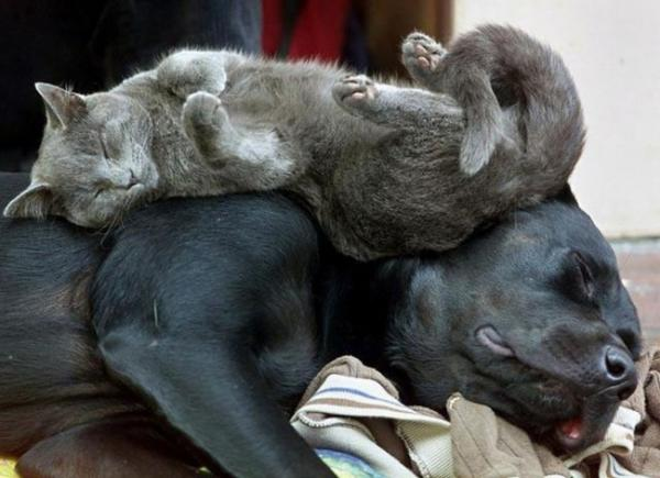 Sleeping cats, funny, pet, positive, black dog