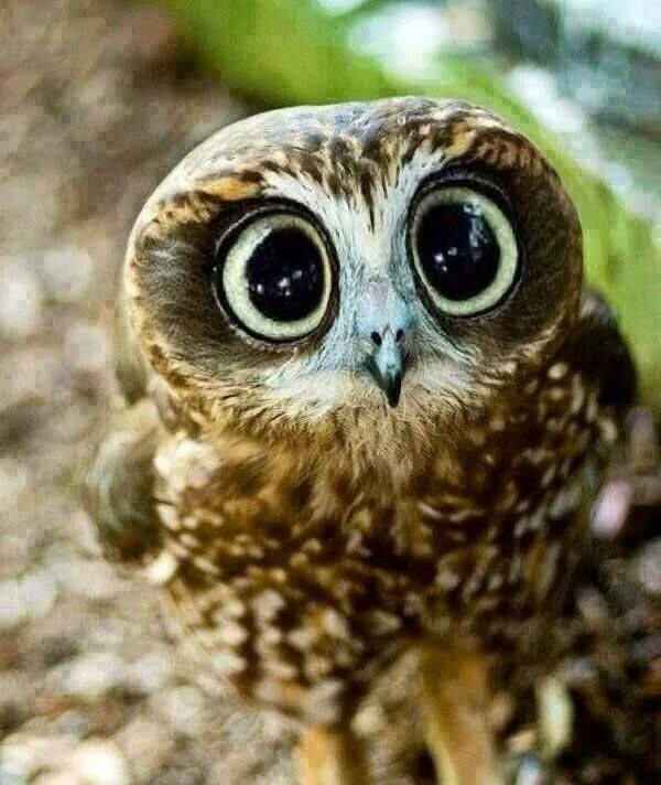 Amazing and funny owl with big eyes