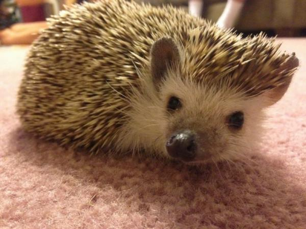 Cute and funny hedgehog closeup