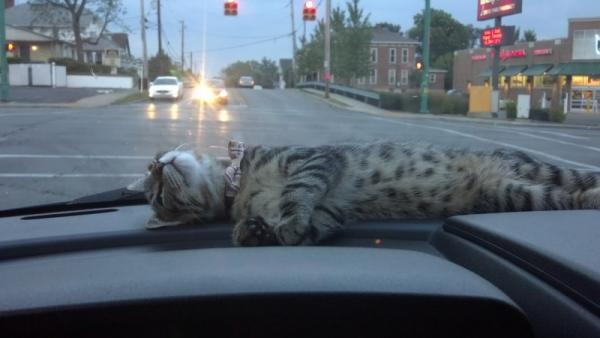 Sleeping cat in the car