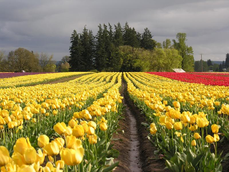 Tulip Festival yellow