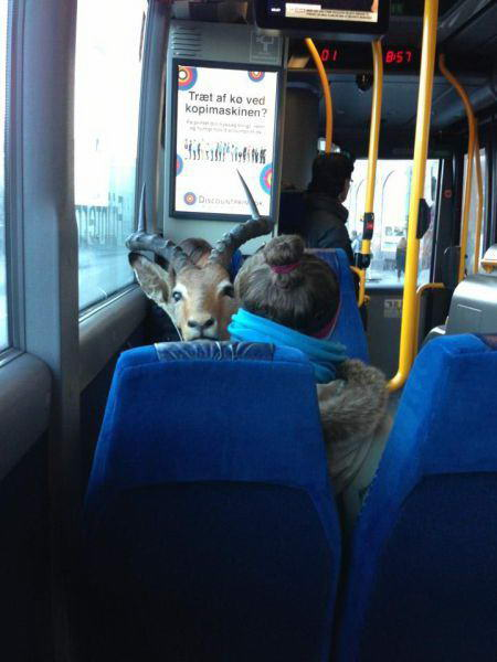 Bus, passengers and goat