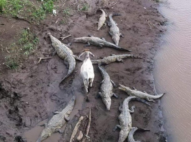 Crocodiles and goat